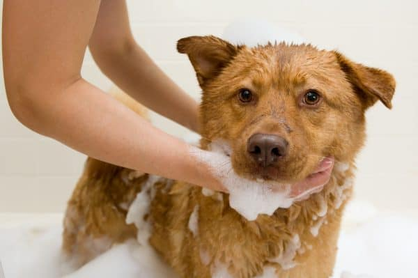 Dog in bathtub while owner washing it.