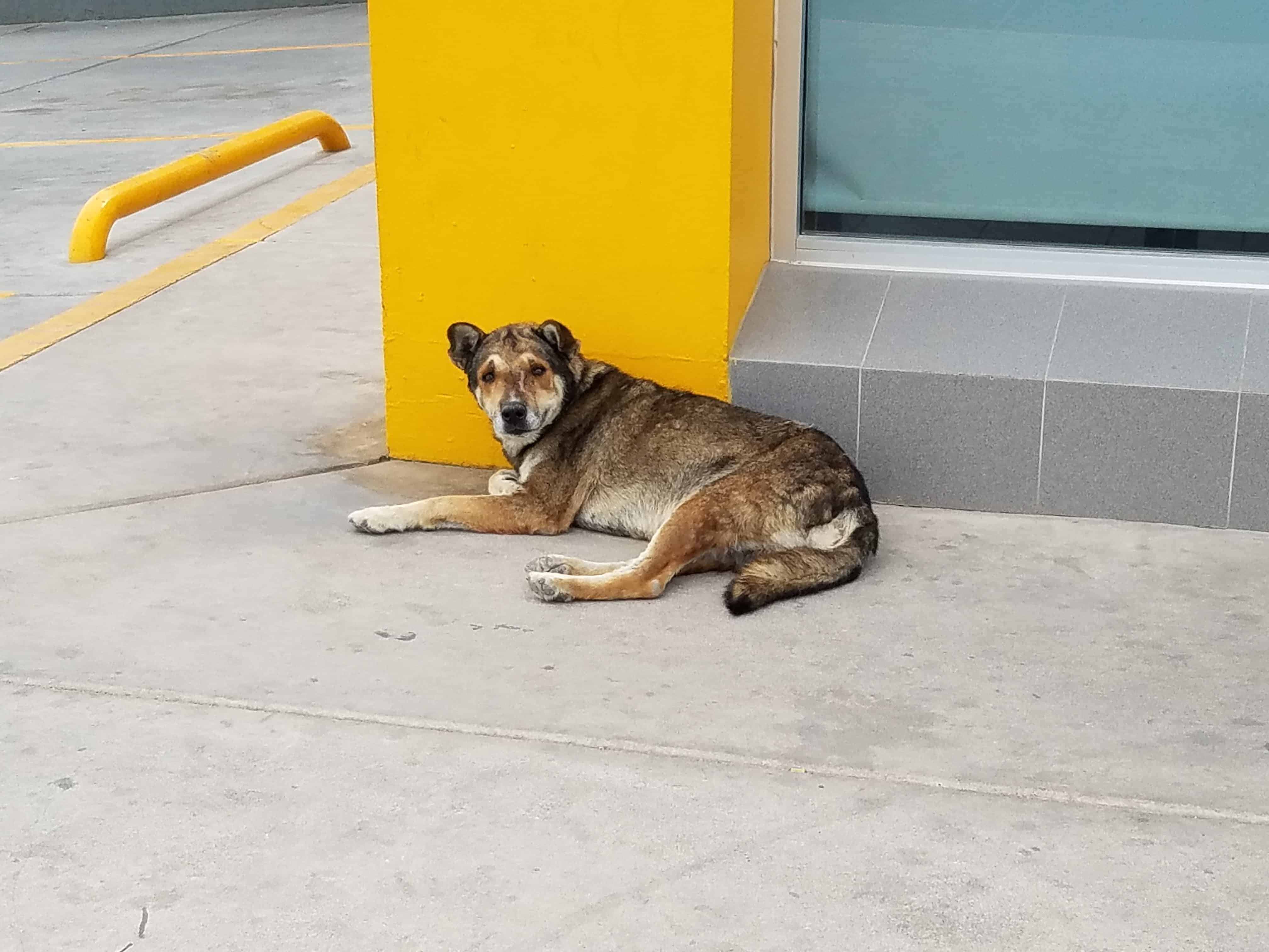 Street Dogs of Mexico 2