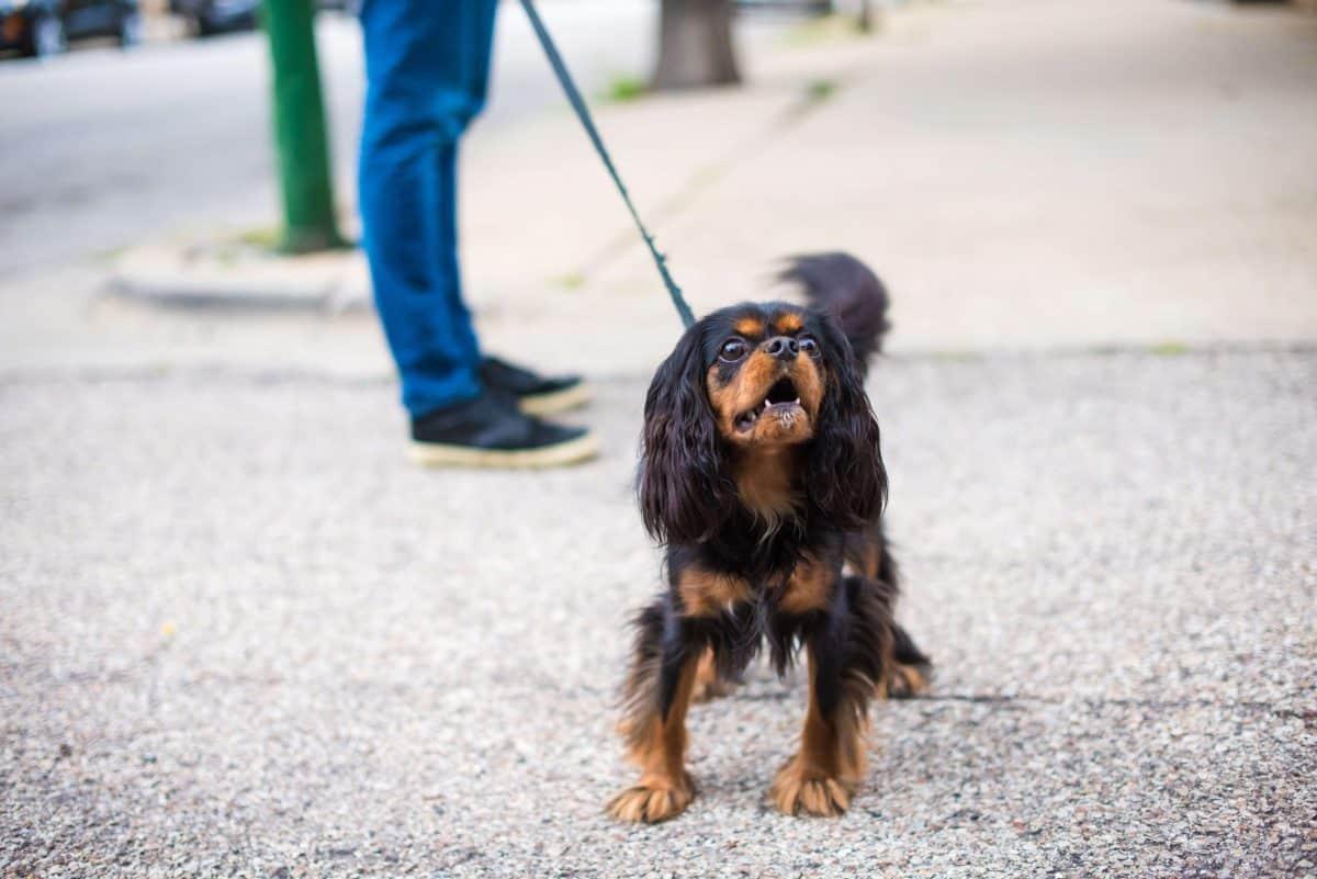 Leash Reactivity, The Academy of Pet Careers
