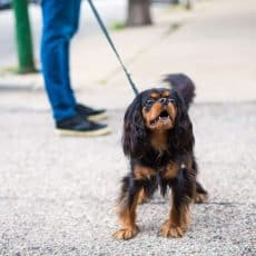 Coping With Leash Reactivity