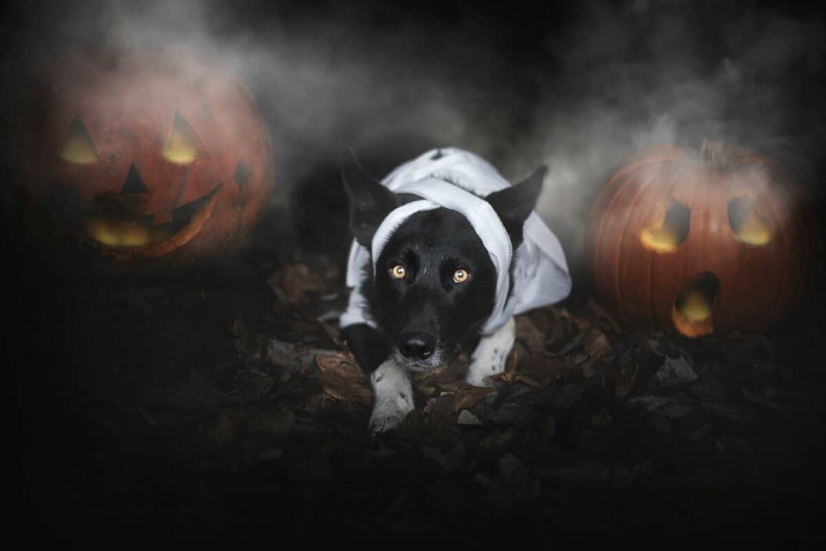 Halloween Can Be Scary For Dogs Image, The Academy of Pet Careers