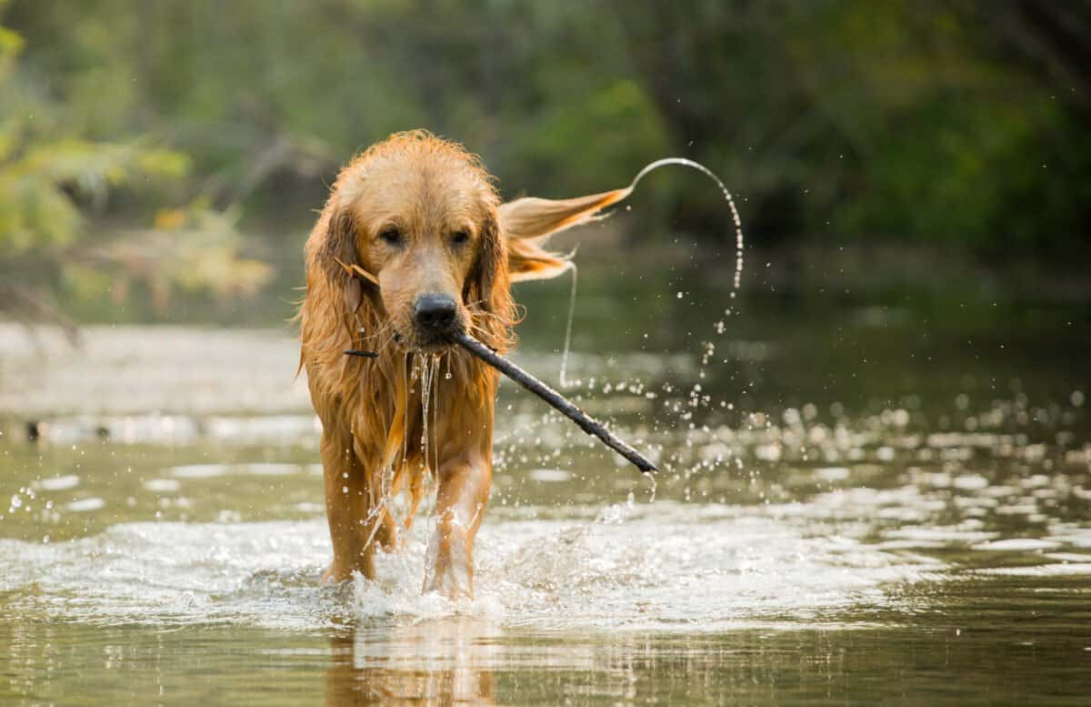Dog with Leptospirosis playing in water